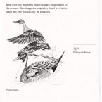 IMG bird book Pintail Ducks